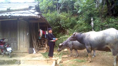 Ông Giàng A Cu là người tích cực phát triển chăn nuôi trâu ở Pín Pé.