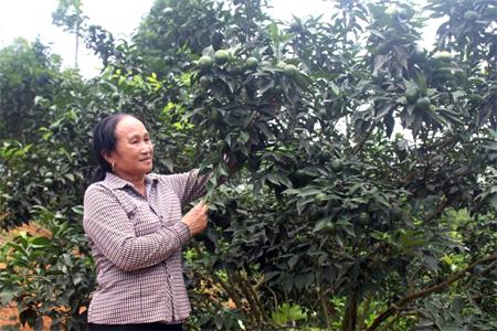 Nhờ tích cực chuyển đổi đất đồi rừng sang trồng cây ăn quả có múi, nhiều gia đình ở Hưng Thịnh đã có thu nhập cao.