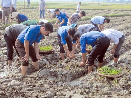 Đoàn viên thanh niên huyện Văn Chấn tham gia giúp bà con nhân dân trồng cây vụ đông.