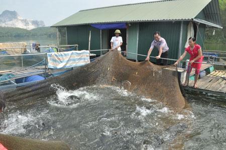 Mô hình nuôi cá lồng trên hồ Thác Bà đang phát triển mạnh ở thôn Thuỷ Sơn, xã Mông Sơn.