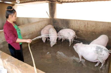 Đàn lợn thịt của gia đình anh Lò Văn Păn được chăm sóc tốt.