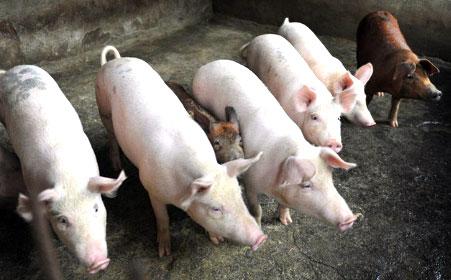 Đã có 12 quốc gia báo cáo có Dịch tả lợn Châu Phi (Ảnh minh họa)