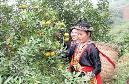 Đến nay, toàn tỉnh đã hình thành vùng cây ăn quả hơn 7.000 ha.