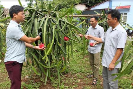 Mô hình trồng thanh long ruột đỏ của đảng viên Nguyễn Ngọc Dương (bên trái) mang lại hiệu quả kinh tế cao.