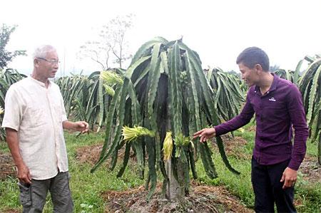 Mô hình chuyển đổi đất ruộng sang trồng cây ăn quả cho giá trị kinh tế cao của xã Nghĩa Lợi - một trong những mô hình điểm trong học tập và làm theo Bác.