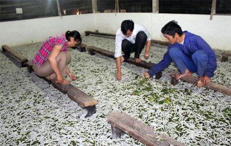 Từ phát triển nghề trồng dâu nuôi tằm, mỗi năm người dân xã Việt Thành thu về hơn 20 tỷ đồng.