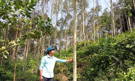 Nhờ trồng rừng, mỗi năm gia đình anh Đặng Văn Thọ ở khu phố 3, thị trấn Thác Bà thu về trên 100 triệu đồng.