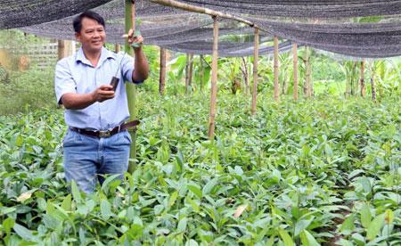Ông Hoàng Văn Thu kiểm tra chất lượng quế giống trong vườn ươm của gia đình.