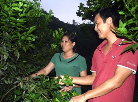 Mỗi năm, anh Phạm Thanh Toàn đạt lợi nhuận khoảng 550 triệu đồng từ cây ăn quả có múi.