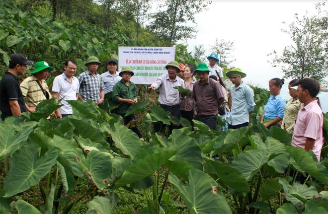 Lãnh đạo huyện Trạm Tấu kiểm tra mô hình thâm canh khoai sọ tại thôn Tà Xùa, xã Bản Công.