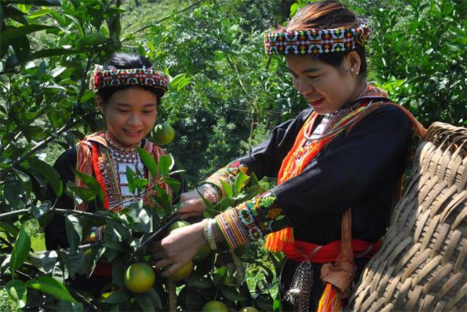 Người dân xã Tân Phượng, huyện Lục Yên thu hoạch cam.