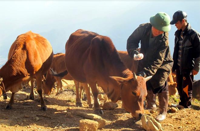 Mô hình chăn nuôi đại gia súc của gia đình ông Thào A Tủa, xã Xà Hồ, huyện Trạm Tấu