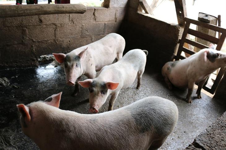 Công tác tái đàn lợn đang được đẩy mạnh tại các địa phương có điều kiện đảm bảo an toàn sinh học.