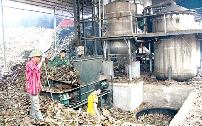 Chưng cất tinh dầu từ cành và lá quế tại HTX 6/12, xã Đào Thịnh, huyện Trấn Yên.