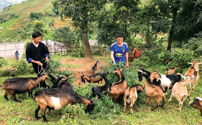 Mô hình nuôi dê sinh sản của người dân xã Mồ Dề, huyện Mù Cang Chải.