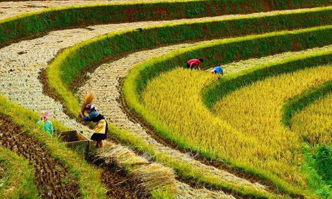 Người dân gặt lúa tại đồi Mâm Xôi, xã La Pán Tẩn, Mù Cang Chải. Ảnh minh họa
