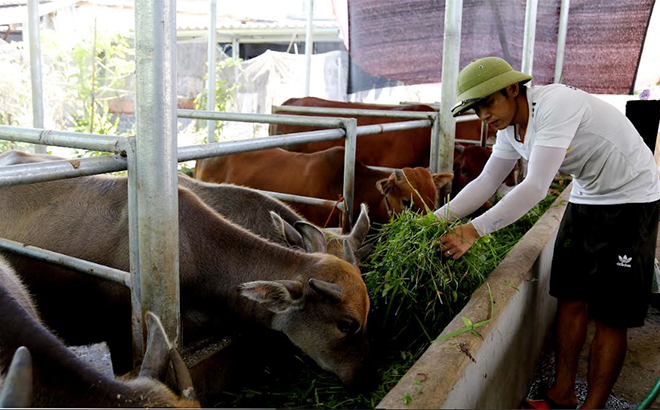 Nhiều hộ dân trong tỉnh đã chăn nuôi trâu, bò theo hướng hàng hóa, nên công tác tiêm phòng vắc - xin bảo vệ đàn vật nuôi luôn được chú trọng.