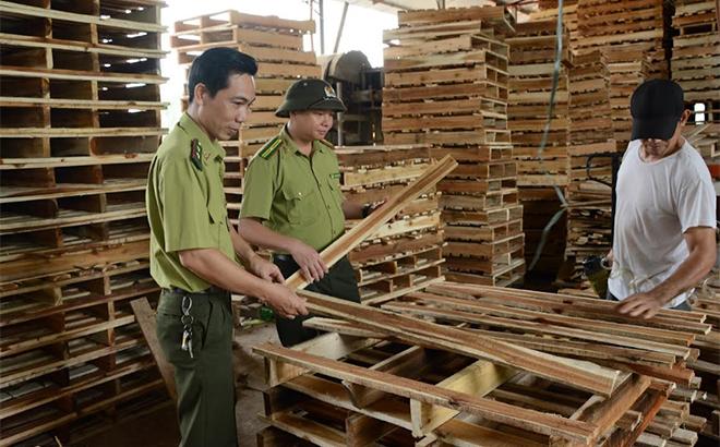 Cán bộ kiểm lâm huyện Yên Bình kiểm tra chất lượng gỗ rừng trồng sau chế biến bảo đảm tiêu chuẩn xuất khẩu.