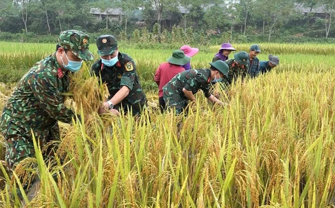 Cán bộ, chiến sĩ Ban Chỉ huy Quân sự huyện Văn Yên giúp dân thu hoạch lúa.