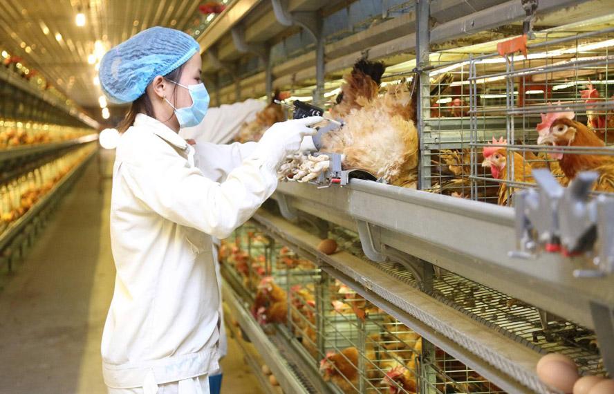 Chăn nuôi gà đẻ trứng công nghệ cao tại Tập đoàn Dabaco Việt Nam.