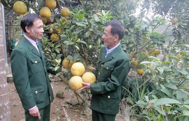 Hội viên cựu chiến binh xã Việt Thành trao đổi kinh nghiệm trồng bưởi Diễn.
