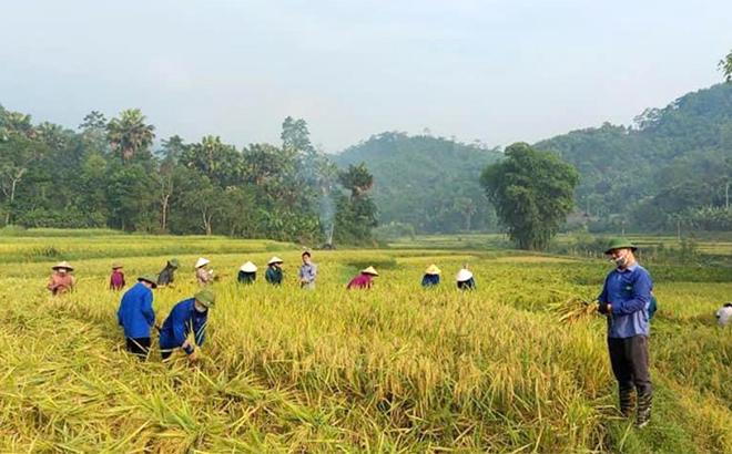 Nông dân Lục Yên đẩy nhanh tiến độ thu hoạch lúa mùa, chuẩn bị quỹ đất sản xuất cây vụ đông.