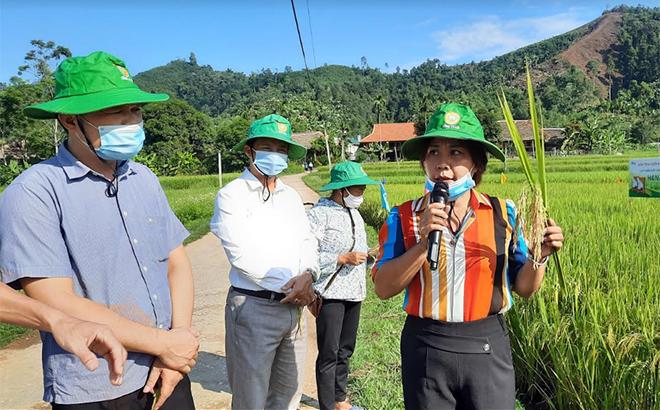 Cán bộ Trung tâm Dịch vụ Hỗ trợ phát triển nông nghiệp huyện Lục Yên đánh giá kết quả mô hình trồng giống lúa thuần HANA6 tại xã Mường Lai.